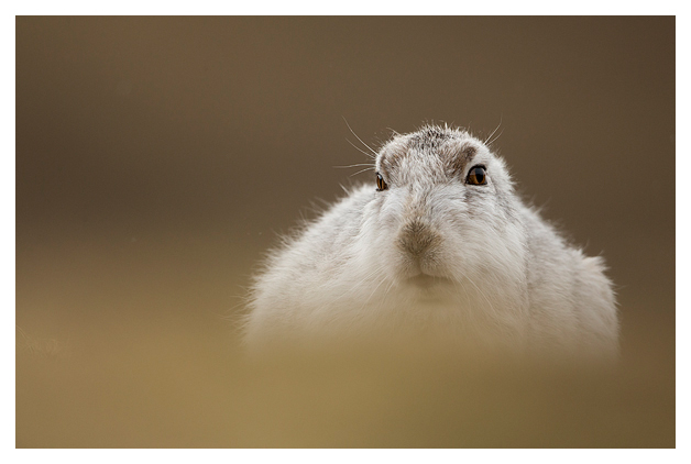 Mountain Hare resting 4