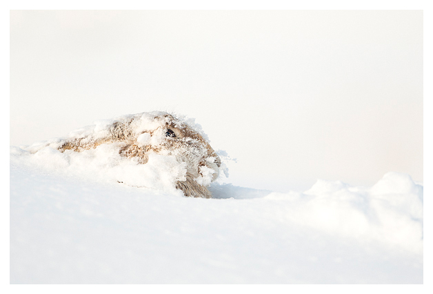 Mountain Hare resting 5