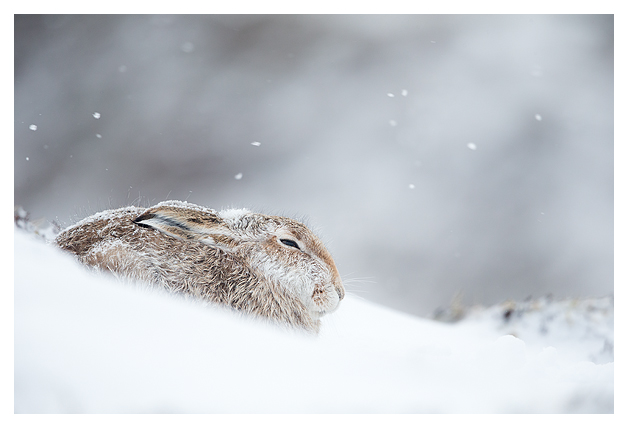 Mountain Hare resting 6