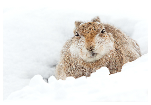 Mountain Hare resting