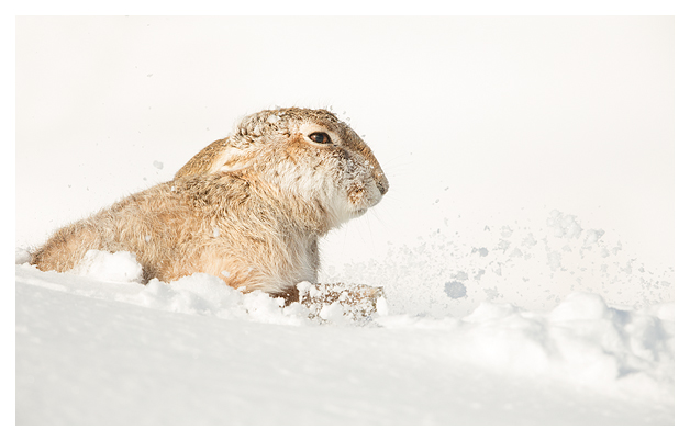 Mountain Hare shaking