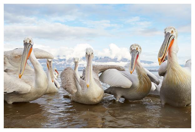 Pelican-gathering