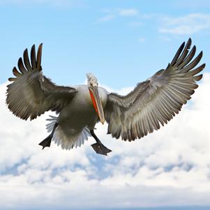 Pelican-in-flight-301