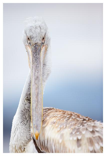Pelican-juvenile