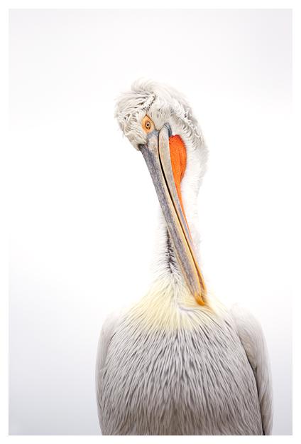 Pelican-preening