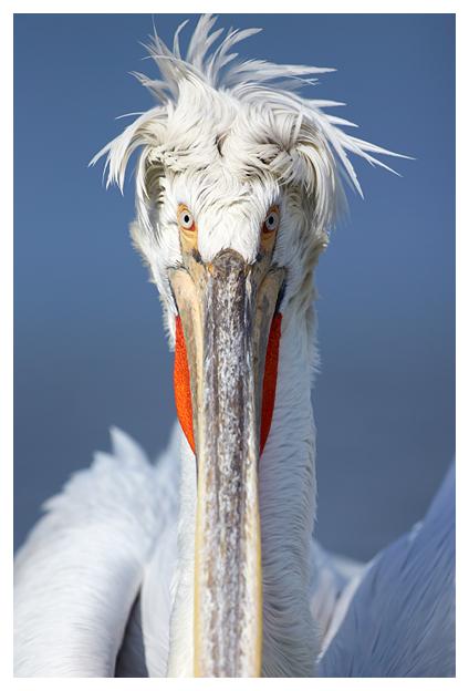 Pelican-stare