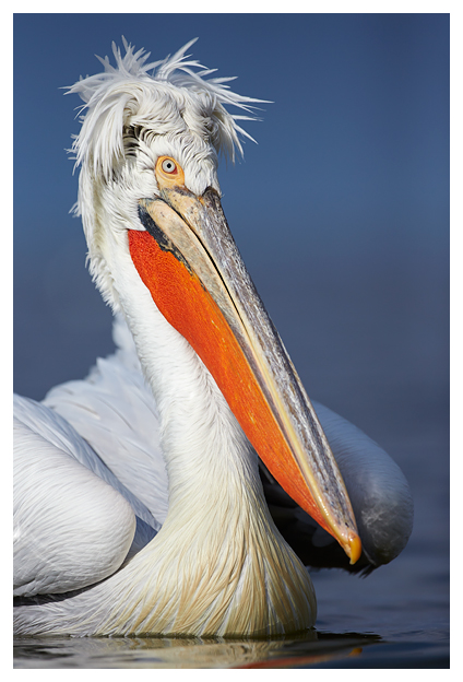 Pelican-with-breeding-feathers