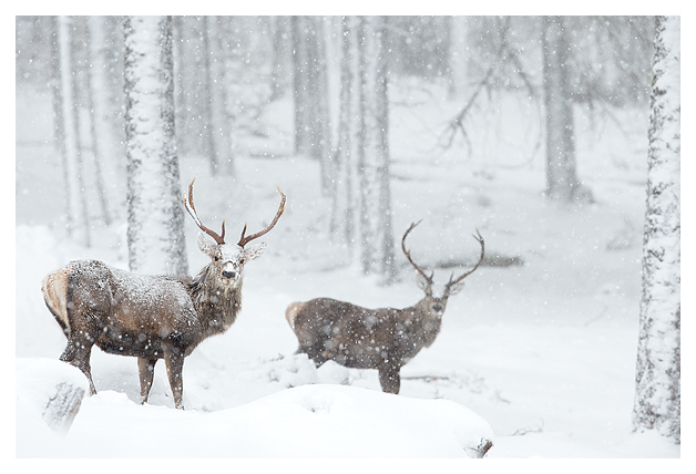 Red Deer and Snow 1
