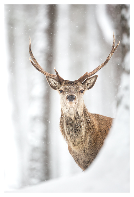 Red Deer and Snow 10