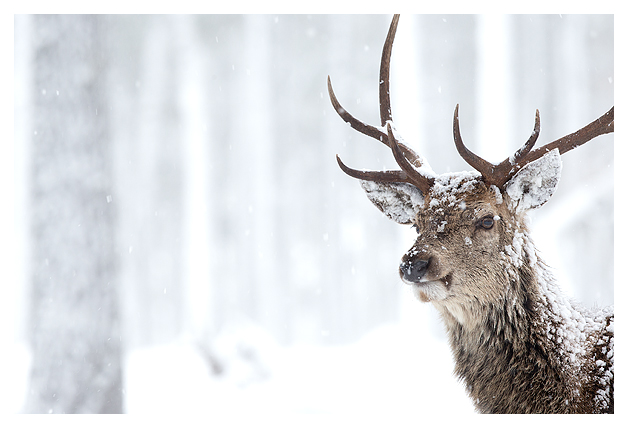 Red Deer and Snow 2