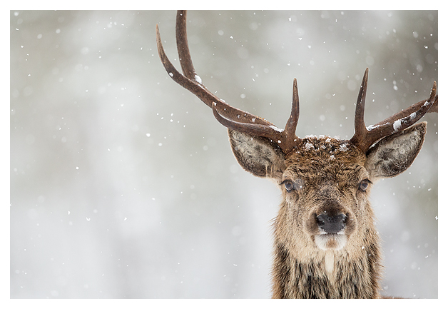 Red Deer and Snow 5