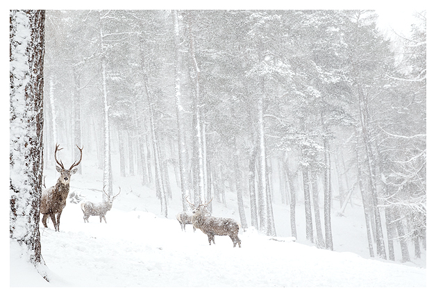 Red Deer and Snow 6