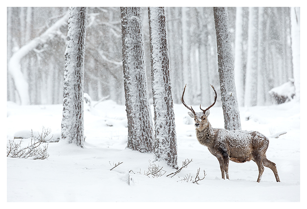 Red Deer and Snow 7