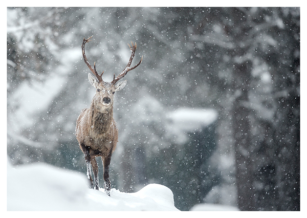 Red Deer and Snow 8