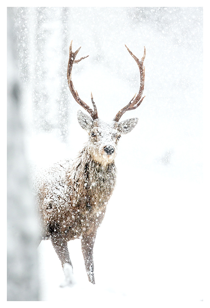 Red Deer and Snow
