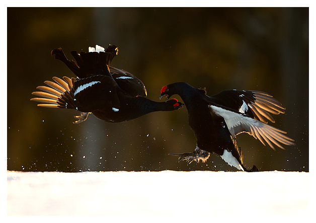 10 Black Grouse fighting 3