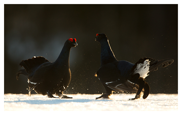 11 Black Grouse fighting 4