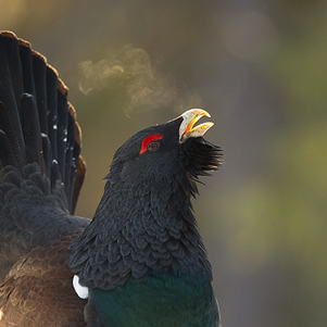 13-Male-Capercaillie-displaying-301