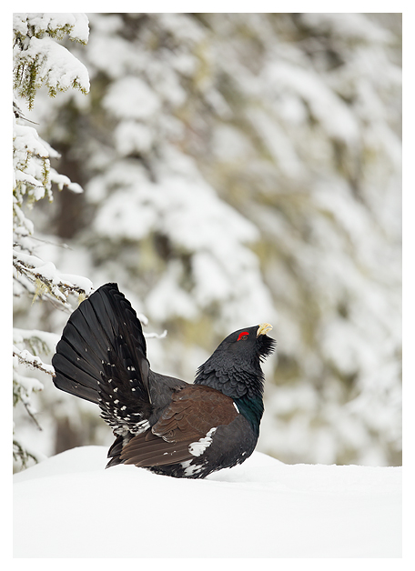 17 Male Capercaillie displaying 4