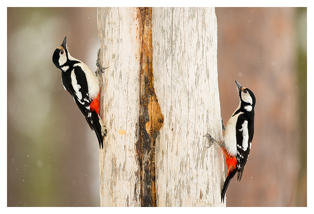 19 Great Spotted Woodpeckers