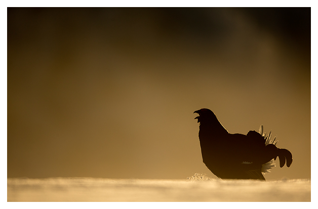 2 Black Grouse displaying 2