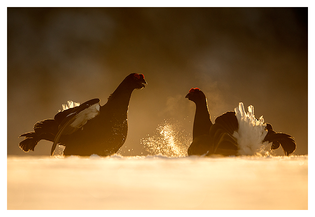 3 Black Grouse fighting 1