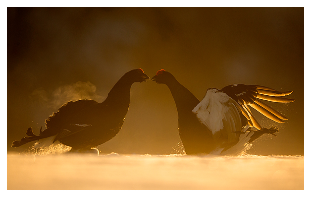 4 Black Grouse fighting