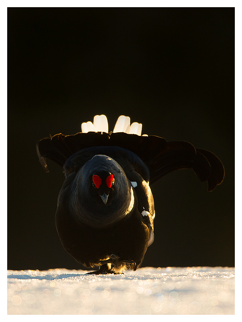 8 Black Grouse displaying