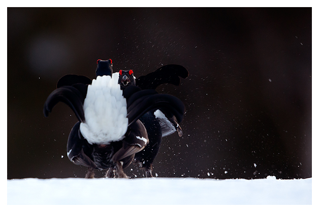 9 Black Grouse fighting 2
