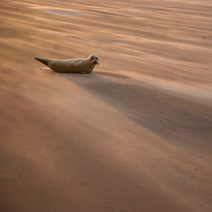 BWPA-2015-Common-Seal-Pup-in-a-sandstorm-Danny-Green