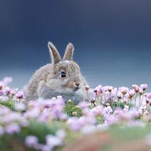 BWPA-2015-Shetlands-common-Rabbit-Ellie-Rothnie