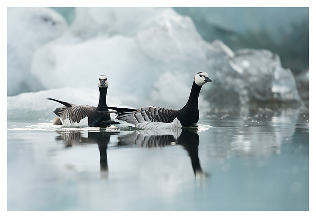 Barnacle Geese amongst Ice