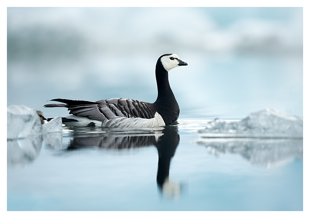 Barnacle Goose amongst Ice 1