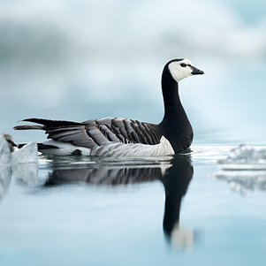 Barnacle-Goose-amongst-Ice-301