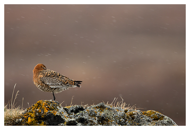 Black-tailed Godwit resting