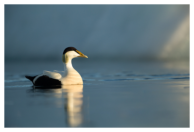 Common Eider Male 1