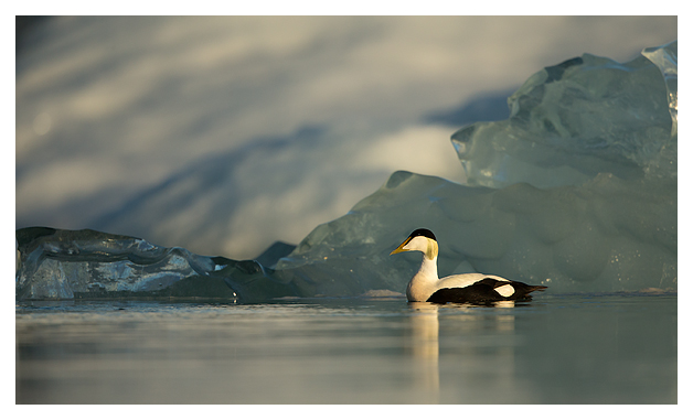 Common Eider Male 2
