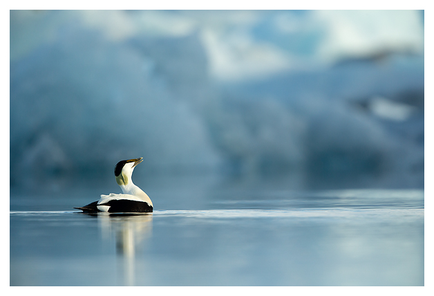 Common Eider Male