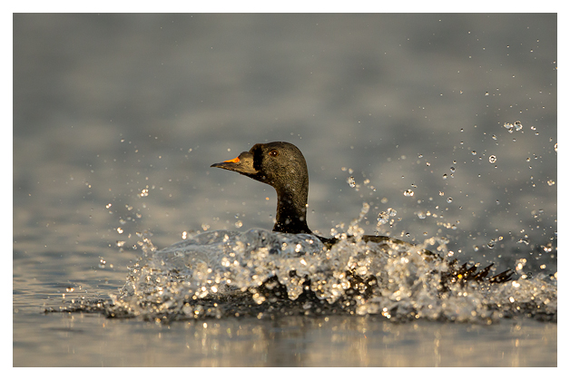Common Scoter 1