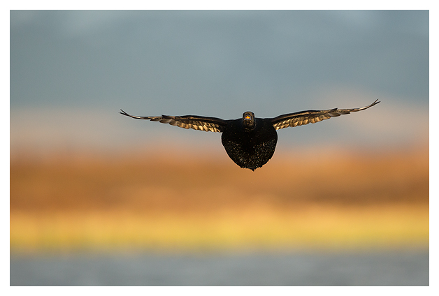 Common Scoter in flight 1