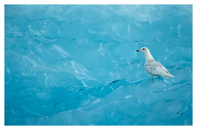 Iceland Gull and Blue Ice 2