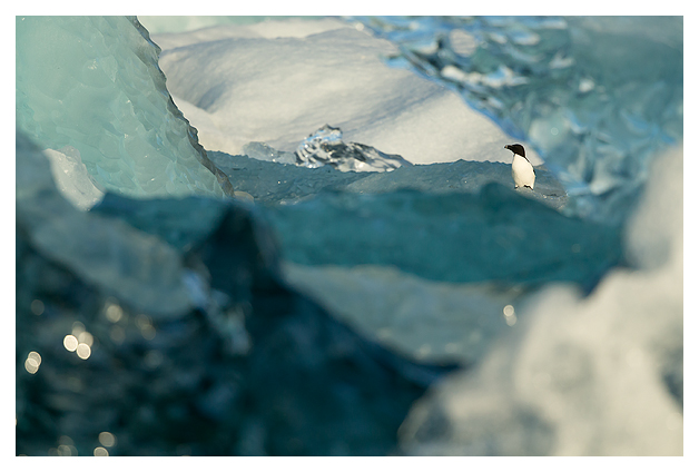 Razorbill amongst Ice 3