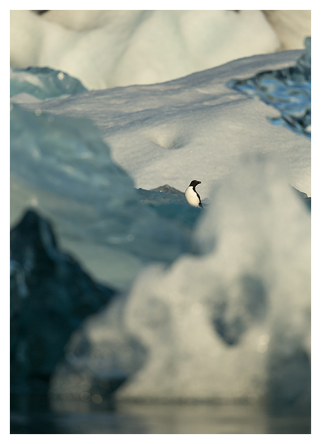 Razorbill amongst Ice
