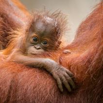 ZSL-2015-Tom-Way-Orangutan