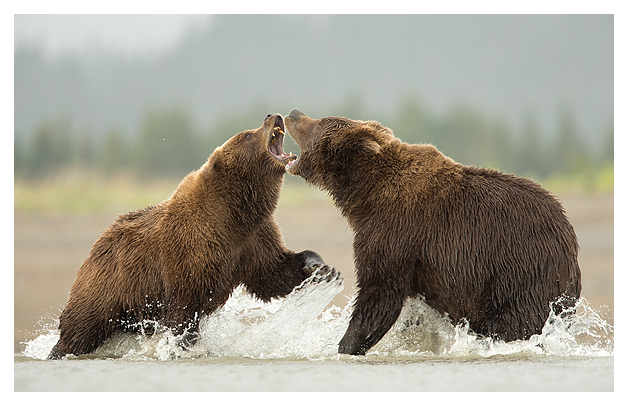 Grizzlies Fighting 1