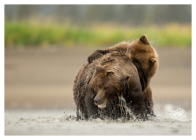 Grizzlies Fighting 2