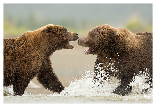 Grizzlies Fighting 3