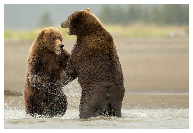 Grizzlies Fighting 5