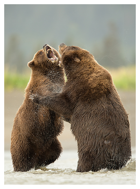 Grizzlies Fighting 6