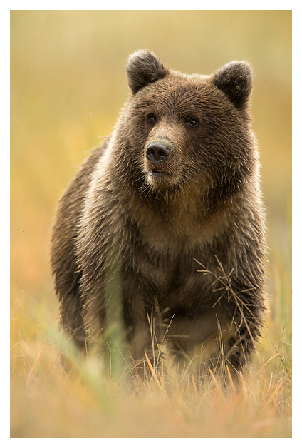 Grizzly Cub in autumn colours 1
